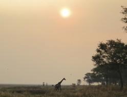 Giraffe sunset_Tanzania