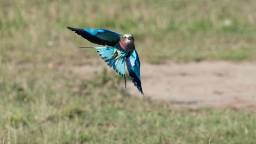 Lilac Breasted Roller doing his thing_Botswana_YM